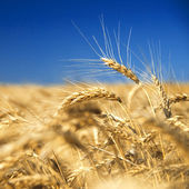 Golden wheat against blue sky — Stock Photo