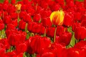 única tulipa amarela em campo de vermelho — Foto Stock