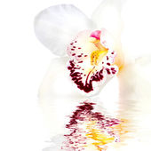 White orchid with reflection — Stock Photo