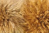 Yellow wheat ears — Stock Photo