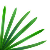 Green palm leaves isolated on white — Stock Photo
