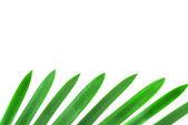 Ontwerpelement van groene palm verlaat geïsoleerd op wit — Stockfoto