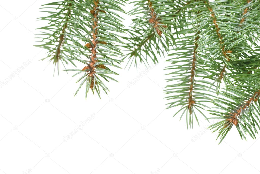 Branch of christmas fir tree isolated on white  Stock Photo #3381241