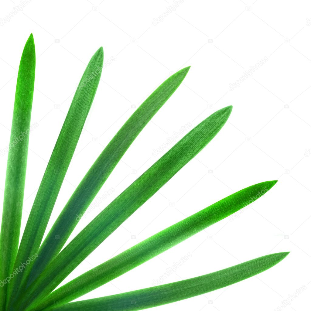 Green palm leaves isolated on white — Stock Photo #3385034