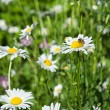 White chamomiles on green sunny meadow — Stockfoto