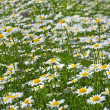 White chamomiles on green sunny meadow — Stock Photo