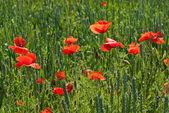 Poppy on field of green wheat — Stock Photo