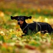 Happy dachshund dog in park - Stockfoto