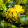 Autumn maple leave — Stock Photo