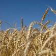 Field of gold wheat and blue sky — Stock Photo #3422679