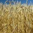 Field of gold wheat and blue sky — Stock Photo #3422687
