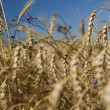 Closeup gold wheat and flowers against blue sky - Lizenzfreies Foto