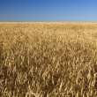 Field of gold wheat and blue sky — Stock Photo #3422698
