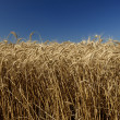 Field of gold wheat and blue sky - Lizenzfreies Foto