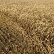 Stock Photo: Hayfield wheat background