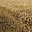 Hayfield wheat background - Stock Photo