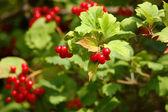 Red viburnum berry — Stock Photo