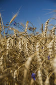 Closeup gold wheat and flowers against blue sky — Stock Photo