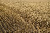 Hayfield wheat background — Stock Photo