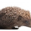 Hedgehog isolated on white - Stock Photo