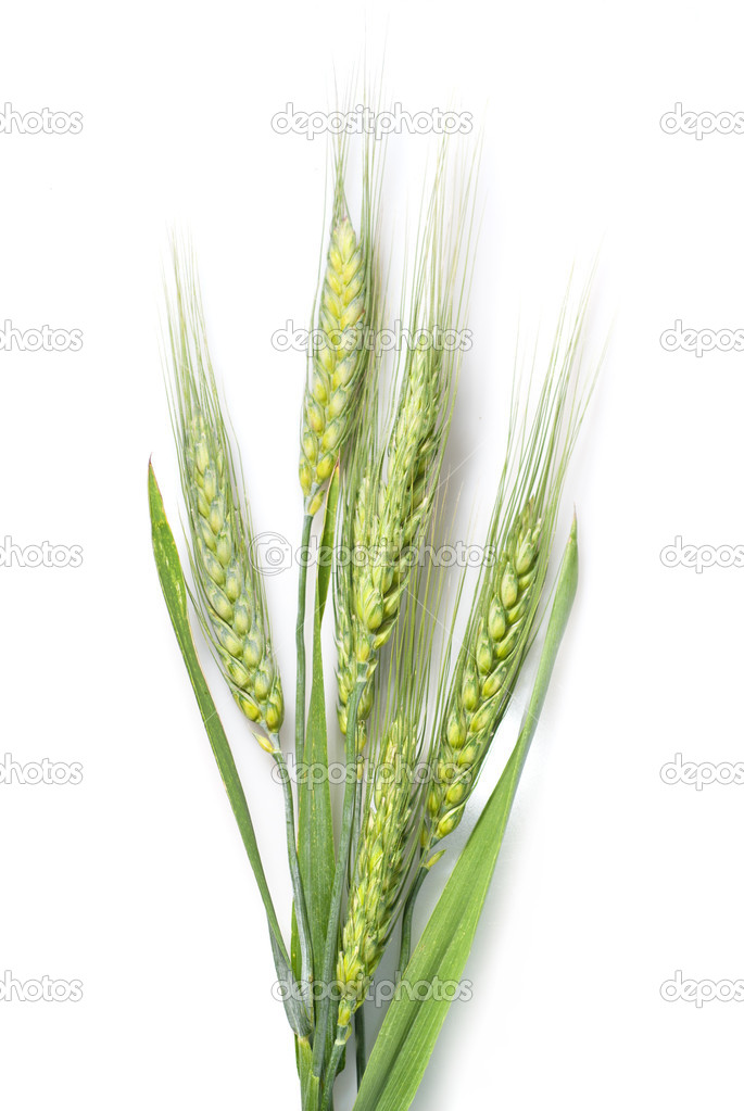 Green wheat isolated on white — Stock Photo #3438019