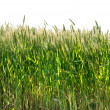 Green wheat isolated on white — Stock Photo