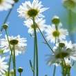 White chamomiles on meadow — Stock Photo