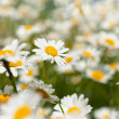 White chamomiles on meadow - Foto Stock