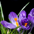Crocus bouquet with water drops isolated on black — Stock Photo