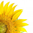 Sunflower isolated on white - Stockfoto
