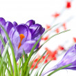 Crocus with red blurred flowers - Stok fotoğraf
