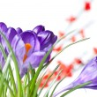 Crocus with red blurred flowers - Stock Photo