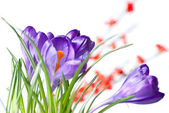 Crocus with red blurred flowers — Stock Photo