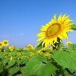Sunflower field over blue sky — Stock Photo #3570359