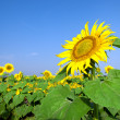 Sunflower field over blue sky - Stockfoto