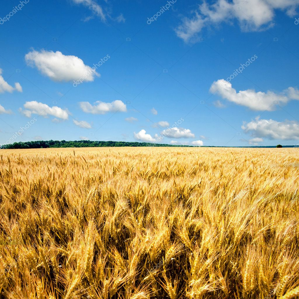Yellow wheat field against blue sky and clouds — Stockfoto #3627237