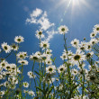 White chamomiles against blue sky and sun — Stock Photo #3763663