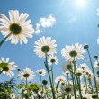 Stock Photo: White chamomiles against blue sky