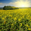 Sunflower field over blue sky with sun — Stock Photo