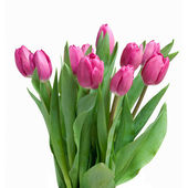 Close-up pink tulips isolated on white — Stock Photo