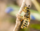 Spring Macro - wasp on thin branch — Stock Photo