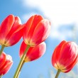 Red tulips and blue sky — Stock Photo #3304840