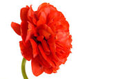 Flower. Close-up of red tulip — Stock Photo