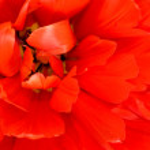 Flower. Macro of red tulip bud — Stock Photo #3367949