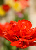 Spring is coming. Red Tulip bud — Stock Photo