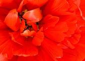 Flower. Macro of red tulip bud — Stock Photo