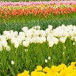 Dutch tulips flowerbed in Keukenhof — Stock Photo #3487823
