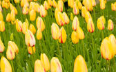 Dutch yellow tulips in Keukenhof park — Stock Photo