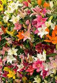 Lily background from Keukenhof park — Stock Photo