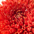 Stock Photo: Summer time. Red dahlibud isolated